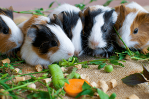 Should You Really Be Feeding Peas To Your Guinea Pig