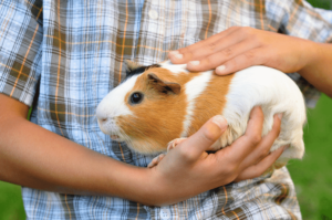 Take Care of a Guinea Pig