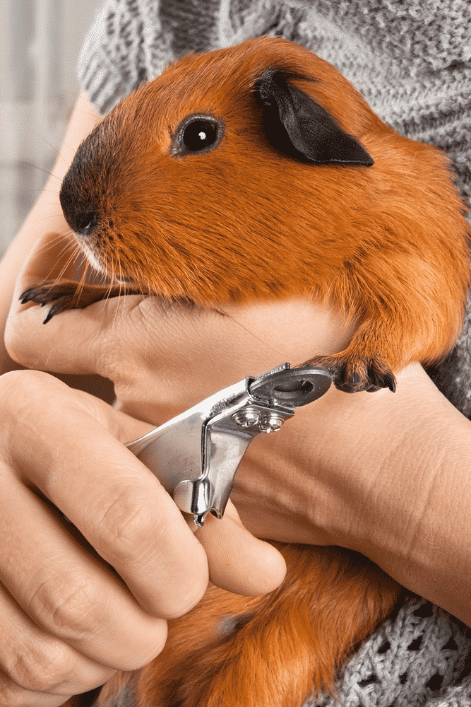 Guinea Pig Nail Clippers