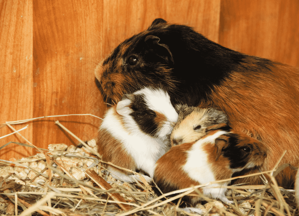 loussi guinea pig try to sleep with babies