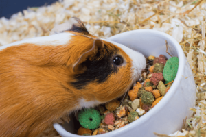 take care of your guinea pig