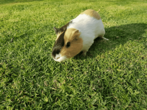 Are Guinea Pigs Good Pets
