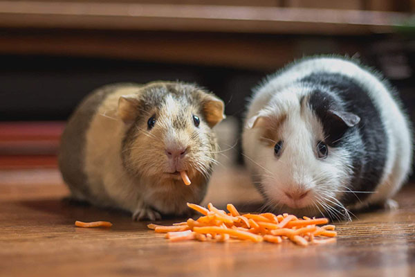 Foods that Can Kill Guinea Pig