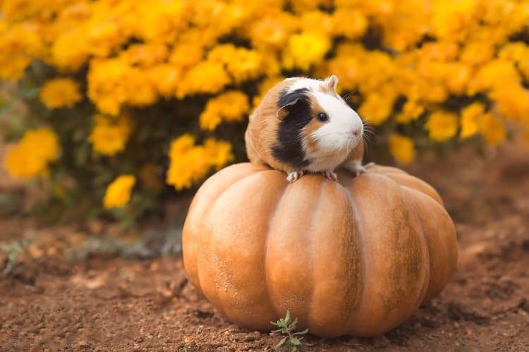 Can Guinea Pigs Eat Pumpkin