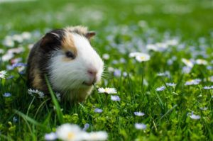 my guinea pig outside