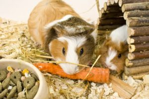 Common Mistakes Guinea Pig Owners Make