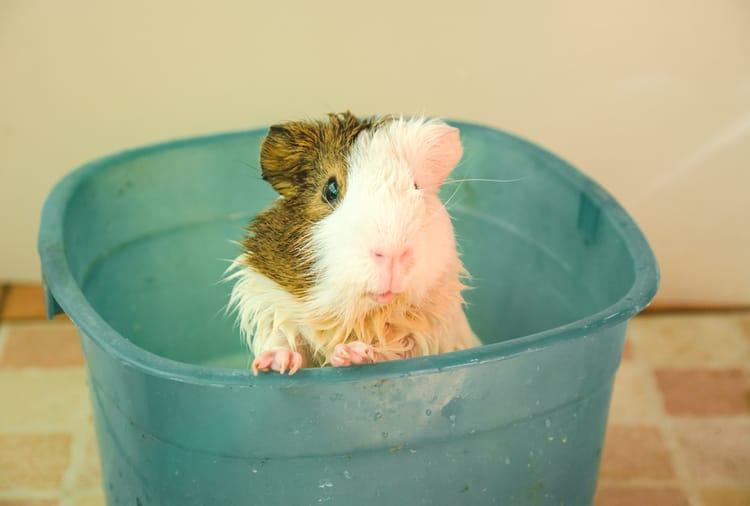 Guinea Pig Feel Hot
