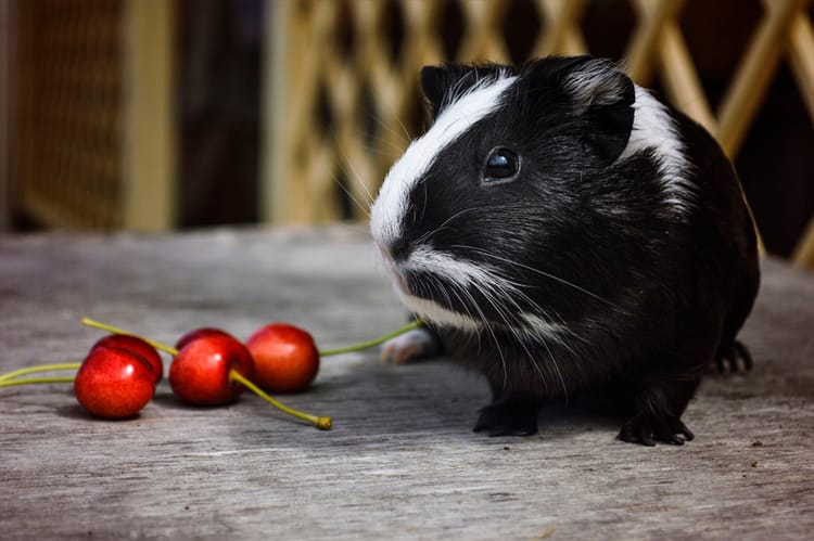 Guinea Pigs Eat Cherries