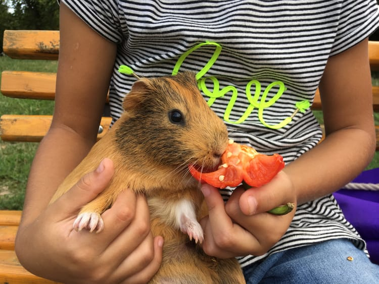 Guinea Pigs Eat Peppers