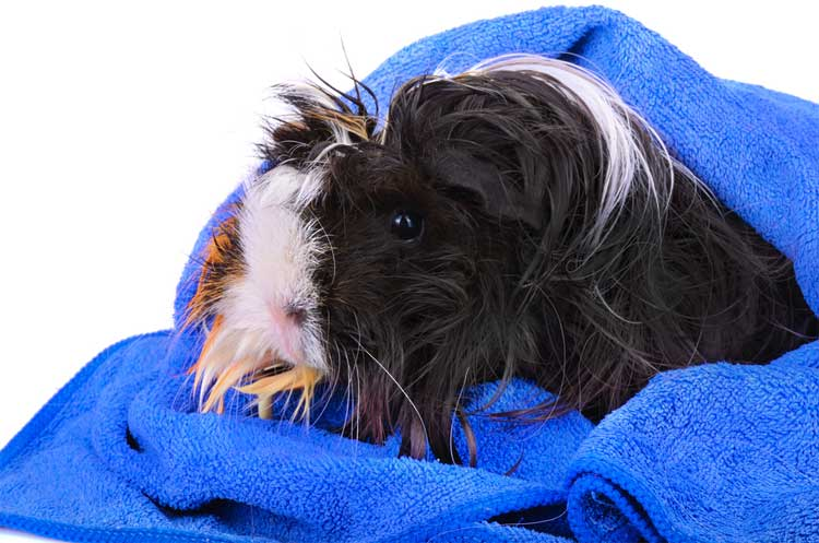 Guinea Pigs Need Grooming