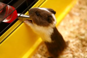 Guinea Pigs Water Drinking Tips For For Beginners