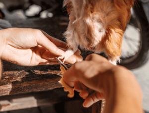How to Trim Your Guinea Pigs Nails