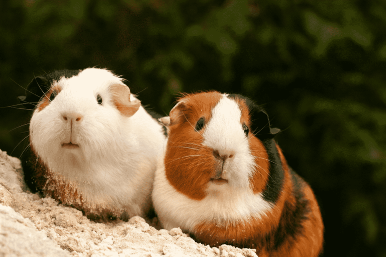 Male VS Female Guinea