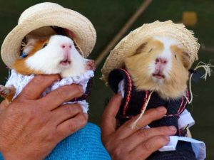 Traveling With Your Guinea Pig