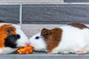 Why Guinea Pigs Bite Each Other