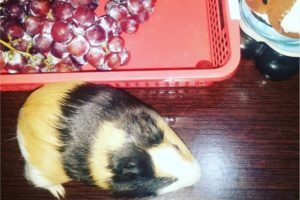 guinea pigs grappes
