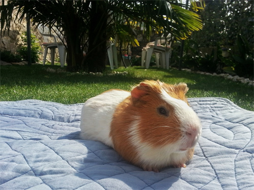 my guinea pig relaxed in the garden after a long travel