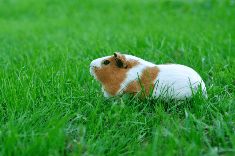 take a guinea pig outdoors