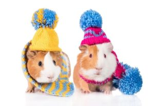 Can Guinea Pigs Wear Clothes