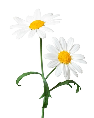 Can guinea pigs eat Daisies