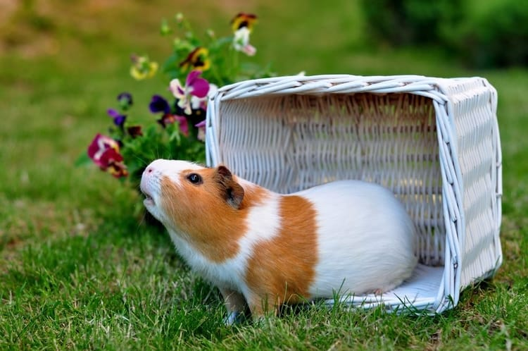 Do Guinea Pigs Smell