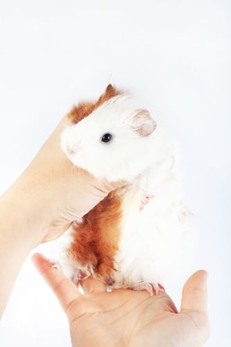 Do guinea pigs eat their babies if you touch them