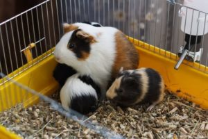 Essential Things You Should Learn About Guinea Pigs Babies