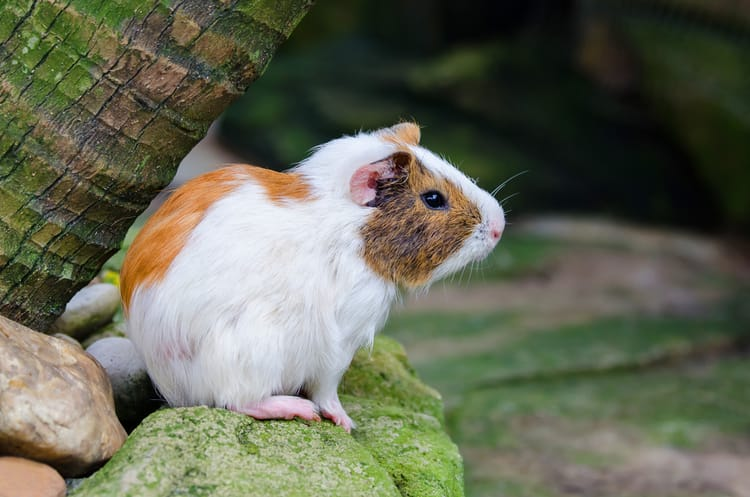 Guinea Pigs Eat Brussel Sprouts