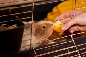 How Much Vitamin C Should Guinea Pigs Have
