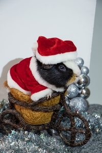 Loussi cavy with Christmas decoration and Christmas hat