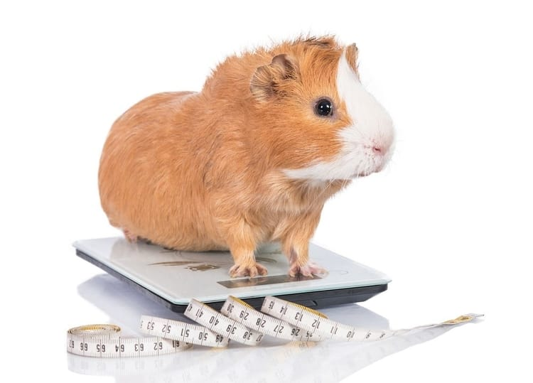 Weight Loss In Guinea pigs