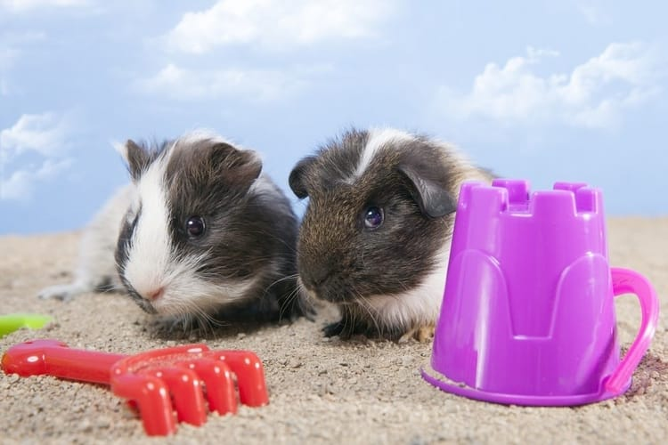 What to do with your guinea pig while on vacation
