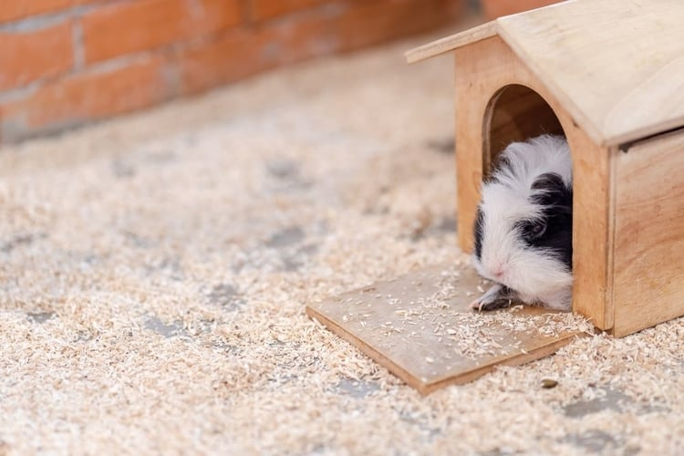 When is the best time to separate Newborn guinea pigs?