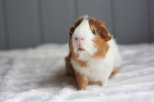 Why Do Guinea Pigs Chirp