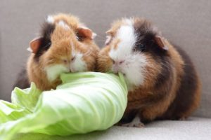 can guinea pig eat cabbage
