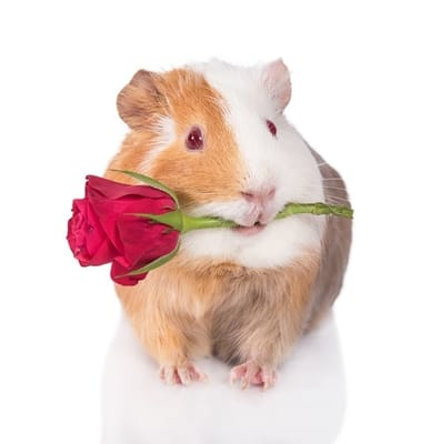 can guinea pigs eat roses