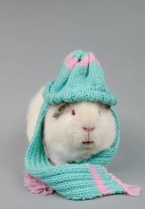 guinea pig is cold