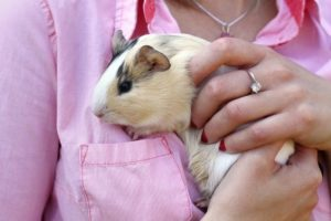 how to hold and catch guinea pigs