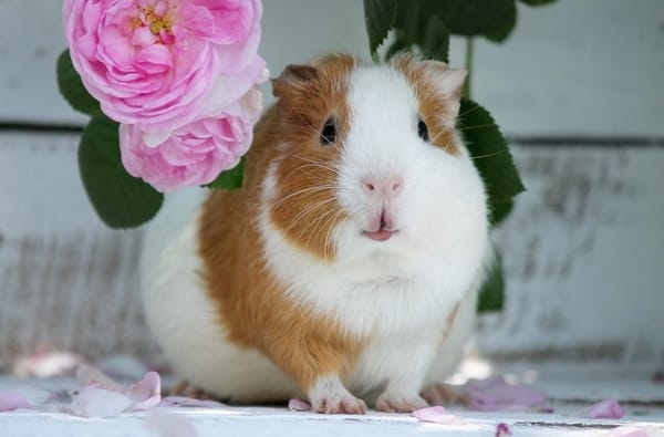 my guinea pig Kim with roses