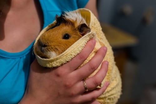 my-wife give our guinea pig a bath
