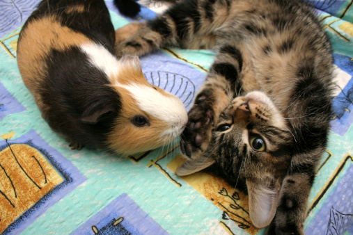 Can Guinea Pigs and Cats Live Together