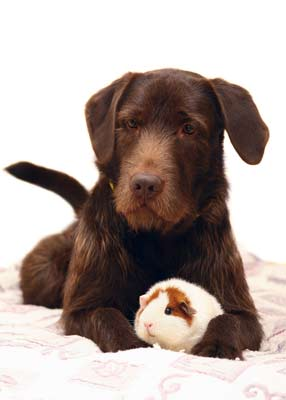 Are guinea pigs safe around dogs