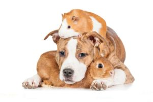 Can Guinea Pigs and Dogs Live Together?