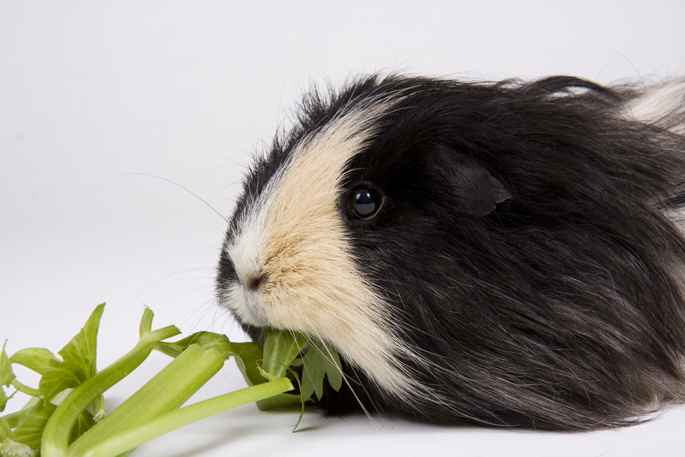 Guinea Pig eating stalk of celery