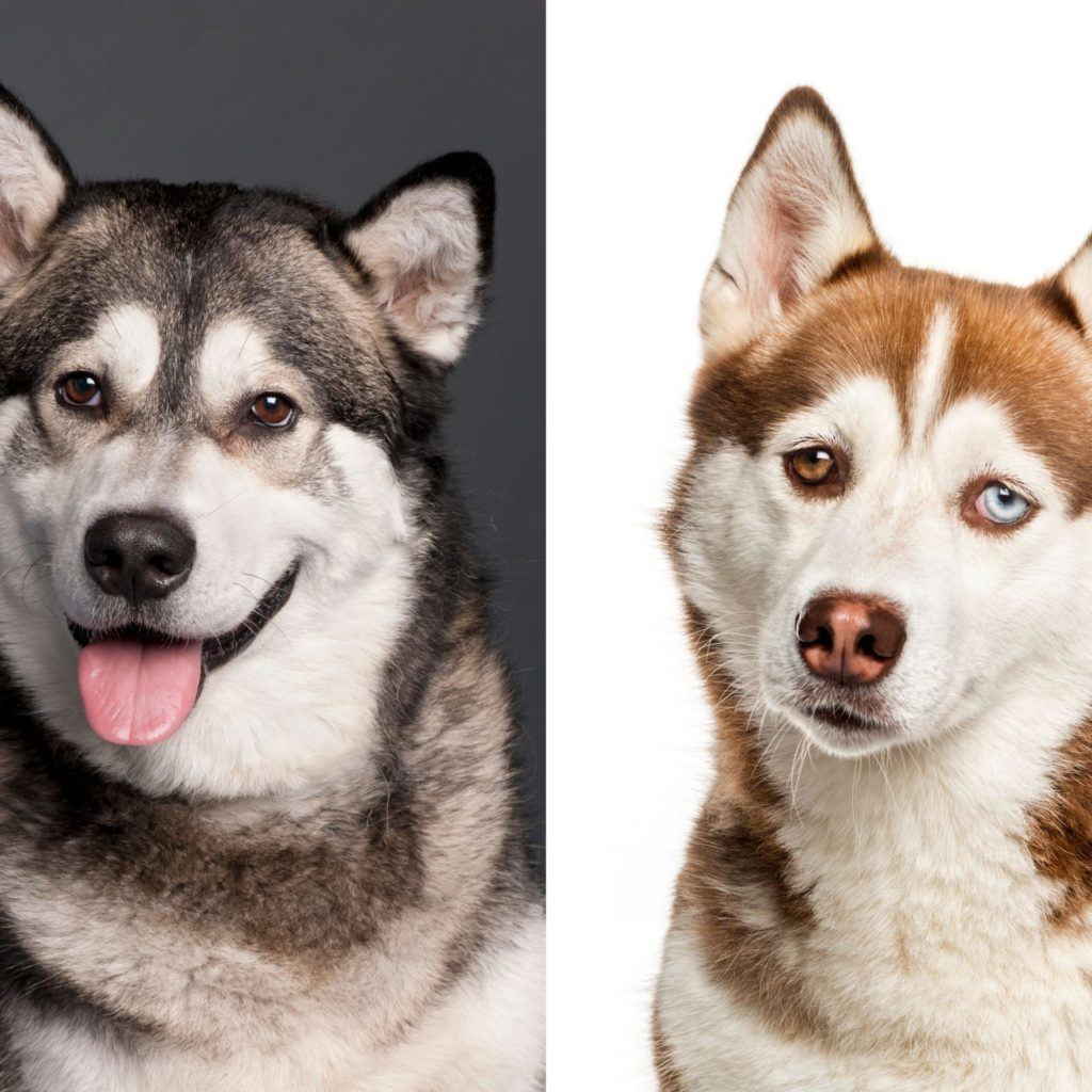 Alaskan Malmute vs Siberian Husky Compared