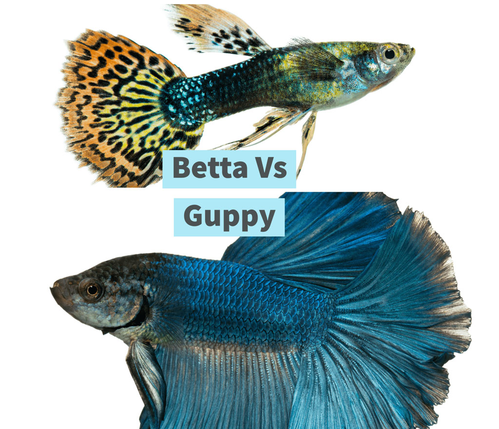 Betta Fish vs Guppy Fish comparison