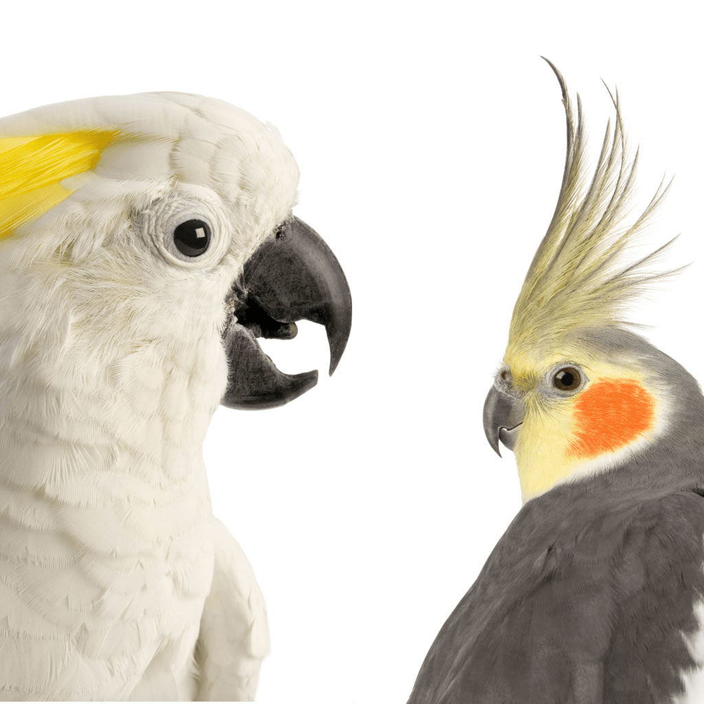 Cockatoo vs Cockatiel Comparison