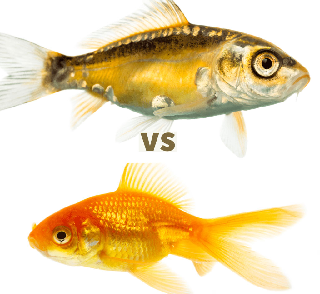 Koi vs Goldfish Comparison