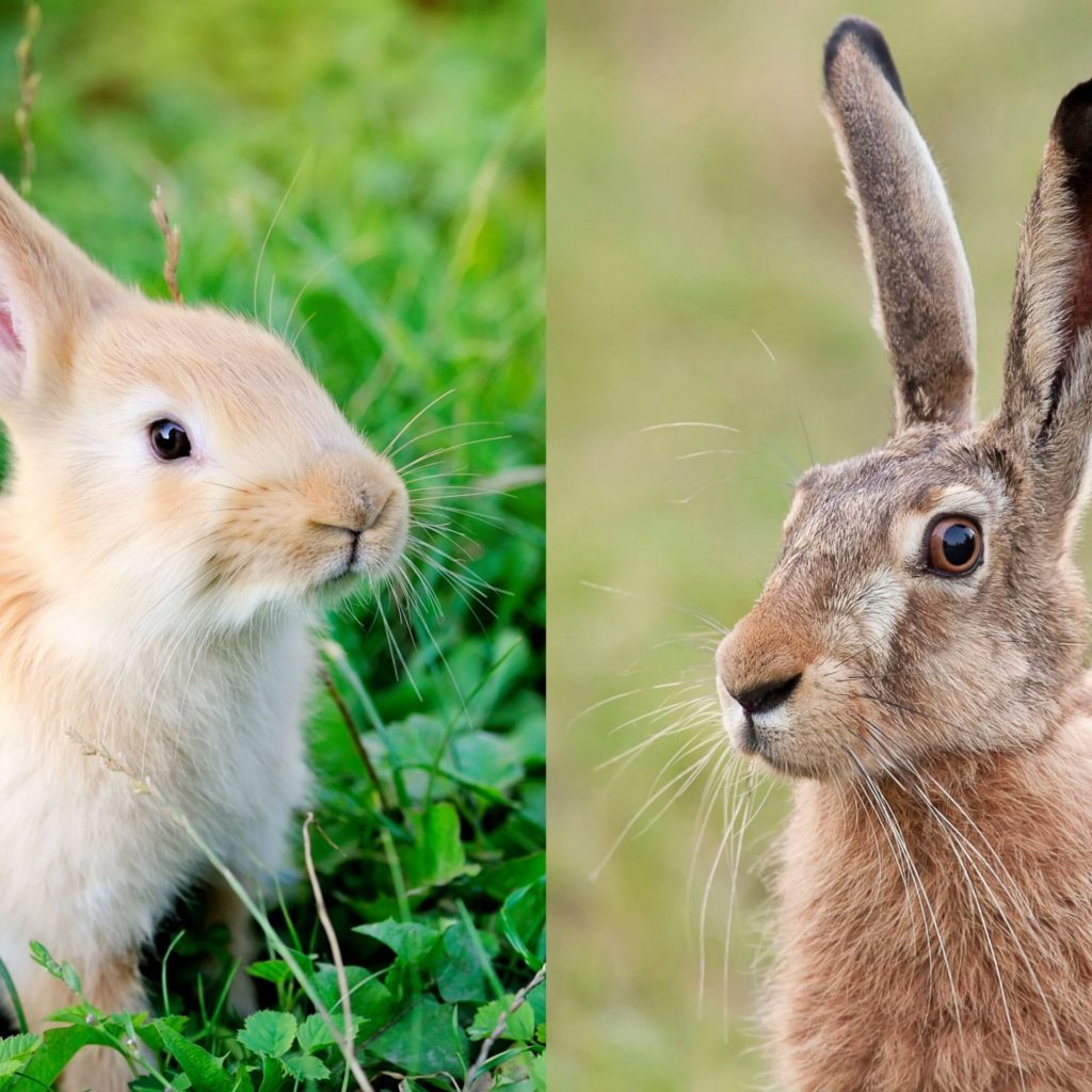 Rabbit vs Hare Comparisons