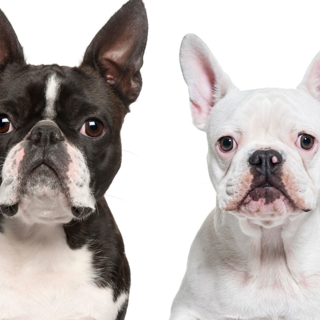 Boston Terrier vs French Bulldog Comparison